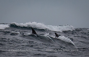 Risso's Dolphins surfing waves, photo by Daniel Bianchetta