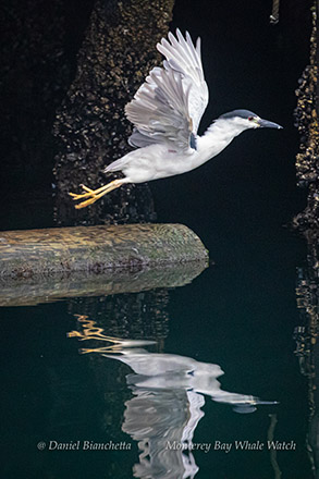 Black-crowned Night Heron sharing a crab photo by Daniel Bianchetta