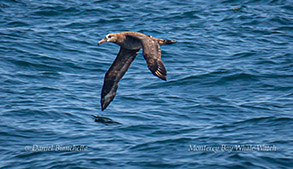 Black-footed Albatross photo by Daniel Bianchetta