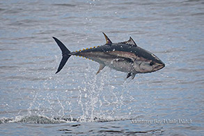 Bluefin Tuna breaching photo by Daniel Bianchetta