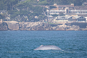 Blue Whale near Pacific Grove photo by Daniel Bianchetta