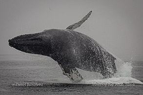 Breaching Humpback Whale photo by Daniel Bianchetta