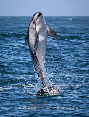 Breaching Pacific White-sided Dolphin photo by Daniel Bianchetta