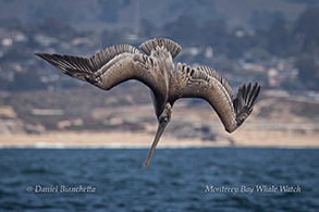 Brown Pelican plunge diving photo by Daniel Bianchetta
