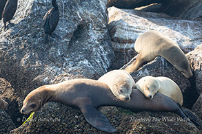 California Sea Lions photo by Daniel Bianchetta