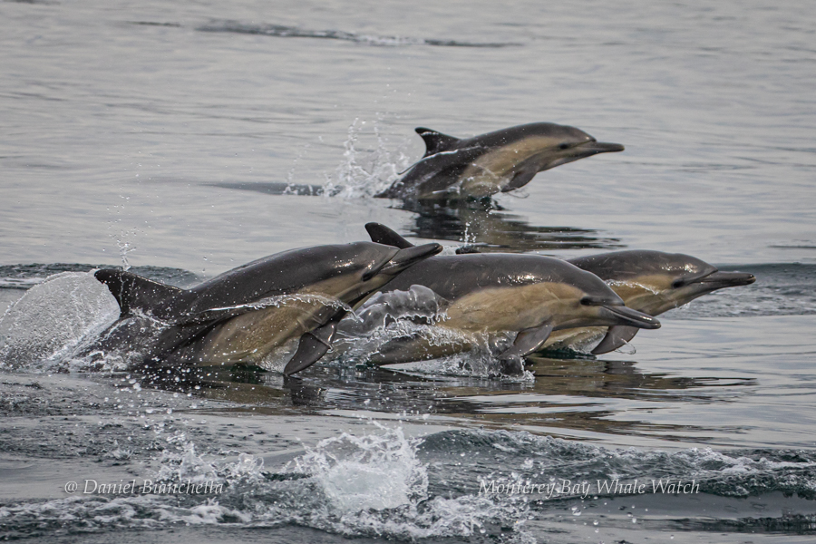Common Dolphins photo by Daniel Bianchetta