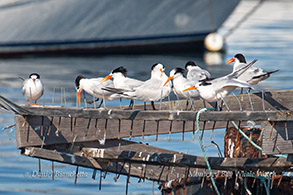 Elegant Terns photo by Daniel Bianchetta