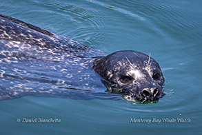 Harbor Seal photo by Daniel Bianchetta