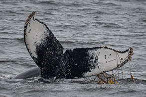 Humpback Whale kelping- playing with kelp photo by Daniel Bianchetta