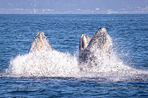 Humpback Whales lunge-feeding with Anchovies flying photo by Daniel Bianchetta
