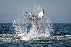 Humpback Whale tail throw photo by Daniel Bianchetta