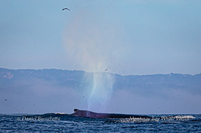 Humpback Whale with rain-blow photo by Daniel Bianchetta