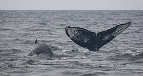 Humpback Whales photo by Daniel Bianchetta
