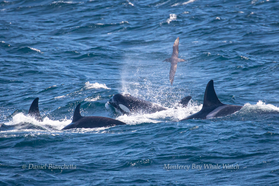 Killer Whales with a Black-footed Albatross photo by Daniel Bianchetta