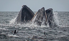 Lunge-feeding Humpback Whales and Anchovies photo by Daniel Bianchetta