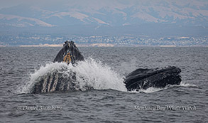 Lunge-feeding Humpback Whales photo by Daniel Bianchetta
