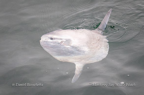 Mola Mola (Ocean Sunfish) photo by Daniel Bianchetta