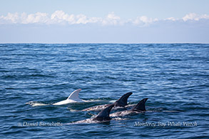 Risso's Dolphins Casper and friends photo by Daniel Bianchetta