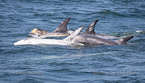 Risso's Dolphins with a calf photo by Daniel Bianchetta