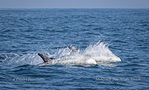 Running Risso's Dolphins photo by Daniel Bianchetta