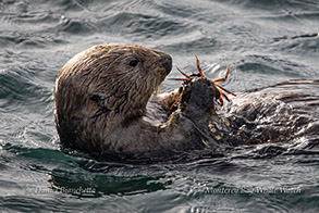 Sea Otter with Crab photo by Daniel Bianchetta