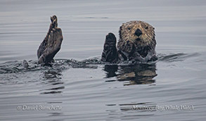 Southern Sea Otter photo by Daniel Bianchetta
