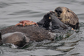 Southern Sea Otter eating a crab photo by Daniel Bianchetta