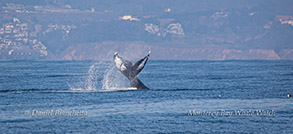Tail throwing Humpback Whale photo by Daniel Bianchetta