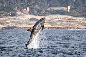Breaching Risso's Dolphin photo by Daniel Bianchetta