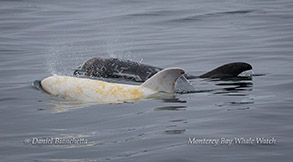 Casper and friend Risso's Dolphins photo by Daniel Bianchetta