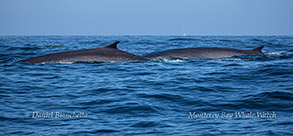Fin Whales photo by Daniel Bianchetta