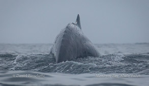 Humpback Whale arching back photo by Daniel Bianchetta