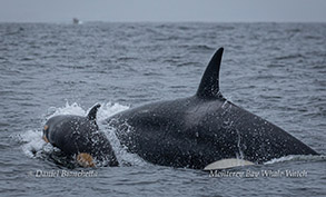 Killer Whale and calf photo by Daniel Bianchetta
