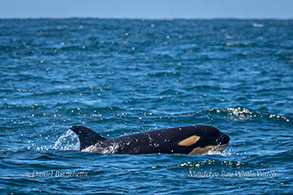 Killer Whale calf photo by Daniel Bianchetta