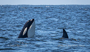 Orca spyhopping photo by Daniel Bianchetta