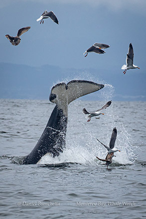 Killer Whale tail throw photo by Daniel Bianchetta
