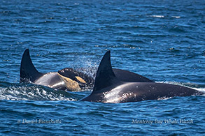 Killer Whales with calf photo by Daniel Bianchetta