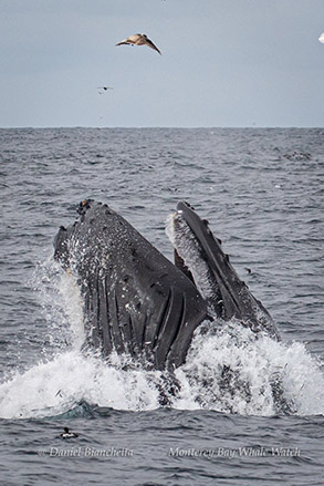 Lunge-feeding Humpback Whale photo by Daniel Bianchetta