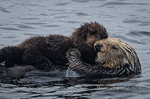 Mother and pup Sea Otters photo by Daniel Bianchetta