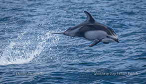 Pacific White-sided Dolphin photo by Daniel Bianchetta