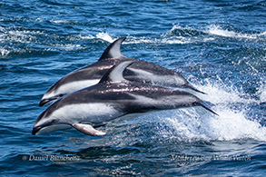 Pacific White-sided Dolphins photo by Daniel Bianchetta