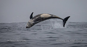 Risso's Dolphin photo by Daniel Bianchetta