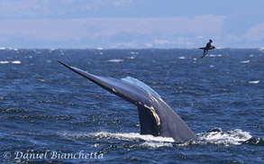 Blue Whale tail with Sooty Shearwater, photo by Daniel Bianchetta
