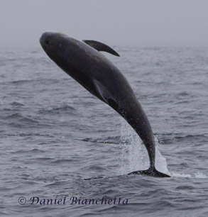 Breaching Risso's Dolphin, photo by Daniel Bianchetta