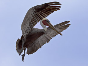 Brown Pelican in breeding plumage, photo by Daniel Bianchetta