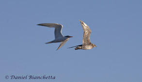 Elegant Tern and Pomarine Jaeger, photo by Daniel Bianchetta