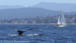 Humpback Whale and sailboat, photo by Daniel Bianchetta