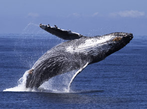 Humpback Whale Breaching, photo by Daniel Bianchetta