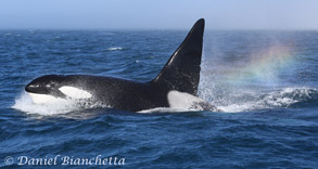 Male Killer Whale CA24 with rainblow, photo by Daniel Bianchetta