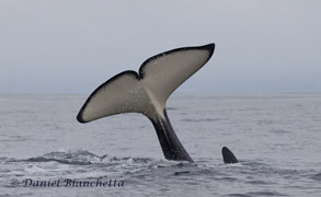 Killer Whale tail, photo by Daniel Bianchetta